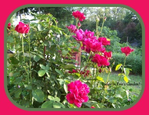Mirandy rose bush